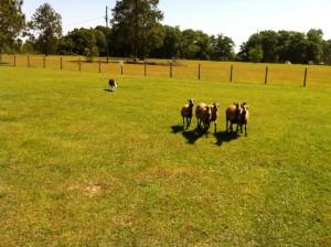 Herding at Mollys2012